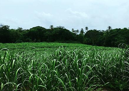 sugar cane farming hope estate grenada