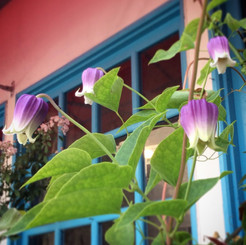 店の庭のクレマチス