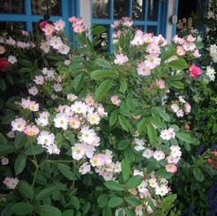 小さな花をいっぱい咲かせています バレリーナという名のバラ #rose #bal