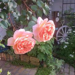 数えきれない花びらとフルーツのような香り 朝の光の中のアブラハムダービー #ab