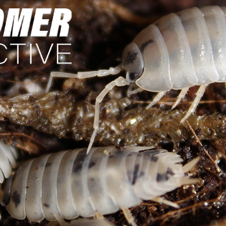 How to Keep & Care for your Porcellio Laevis 'Dairy Cow' Isopods