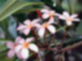 Frangipani+Flowers.jpg