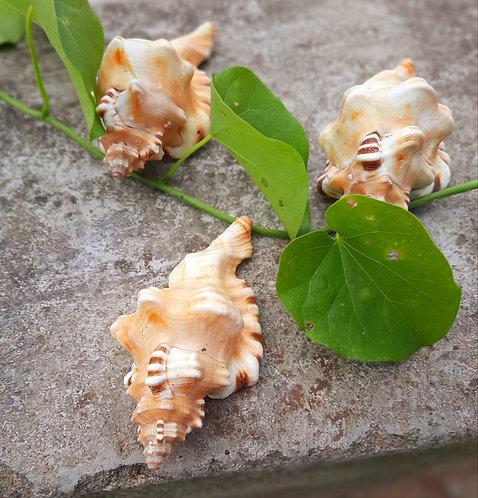 Haastika Sea Shells Shankh for Home Decoration