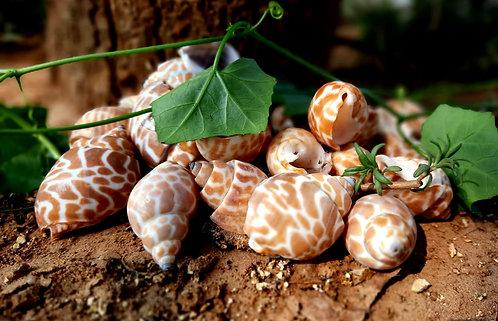 Haastika Handicrafts Natural Sea Shells spooted shankh for Home and Aquarium De