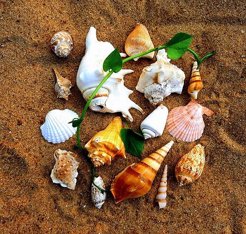 Haastika Mix Shells (Combo of 15 Mix Shells) Sea Shells Craft Home Aquarium