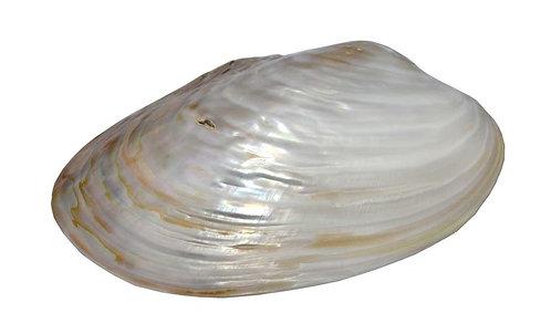 Haastika Natural Baltic sea Shell Clam for Craft Making, JewelryMaking,Aquarium