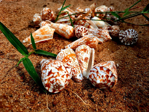 Haastika Sea Shell for Aquarium and Home Decoration 100 G (Pack of 2) 22-24 pcs