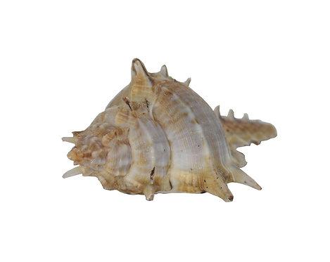 Haastika Sea Shell