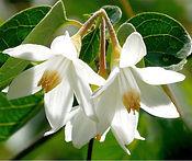 benzoin flower.jpeg