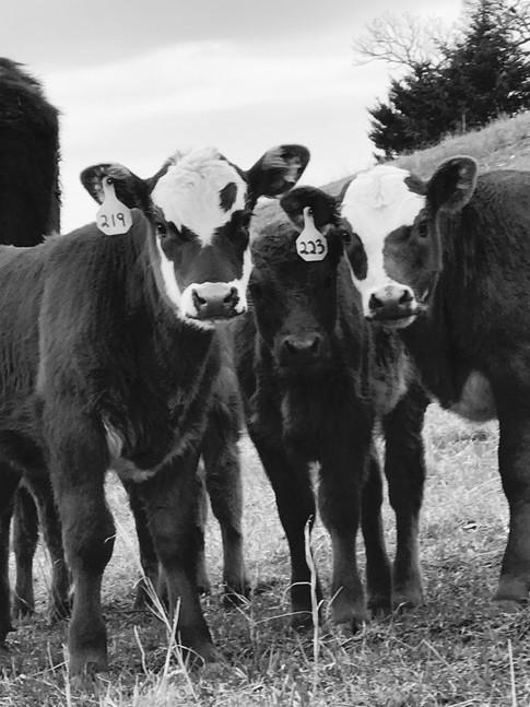 """Favorite Calves"" Kurt Keller"
