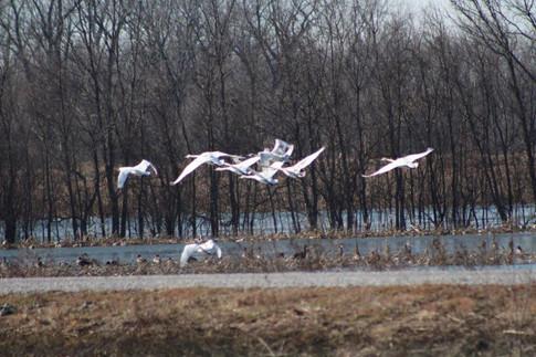 """Swans take flight"" Beverly Kitchen"
