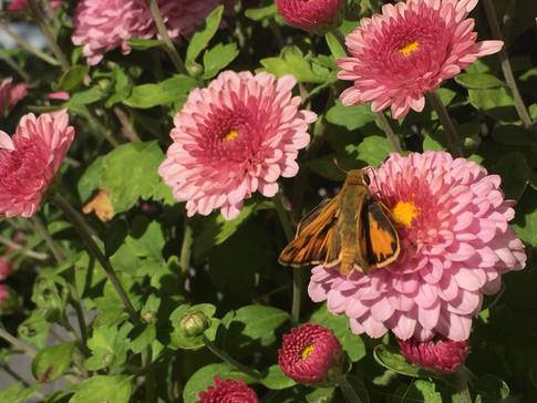 """""""Garden Zinnias"""" April Hemeyer"""