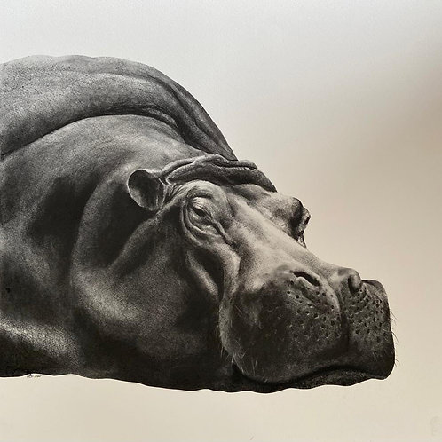 Hippo by Humphrey Bangham, Charcoal on paper 50x50cm