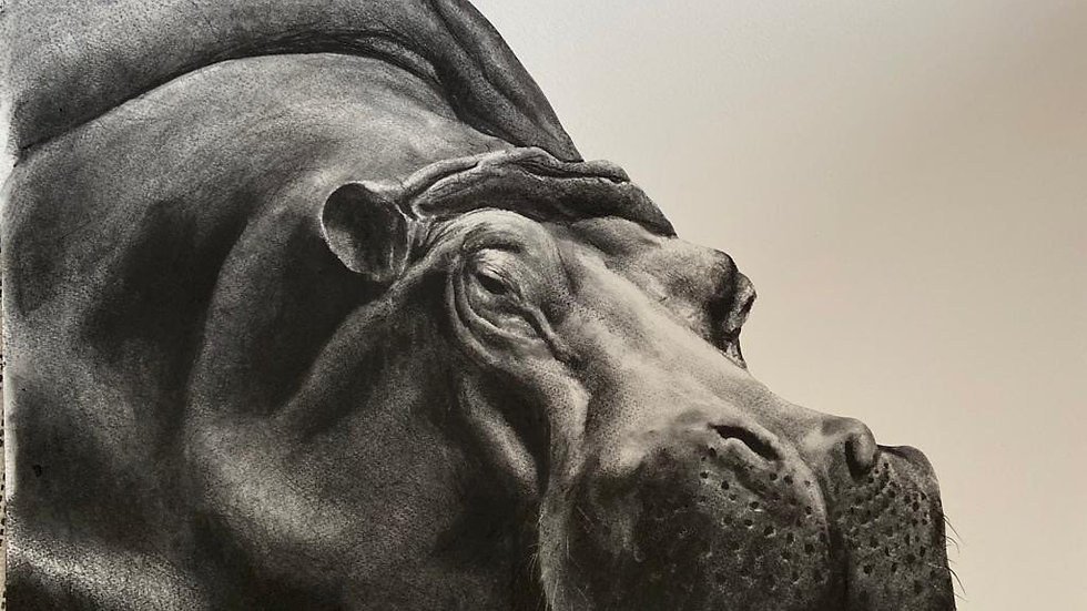 Hippo by Humphrey Bangham, Charcoal on paper