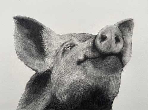 Pig by Humphrey Bangham, Charcoal on paper 50x40cm