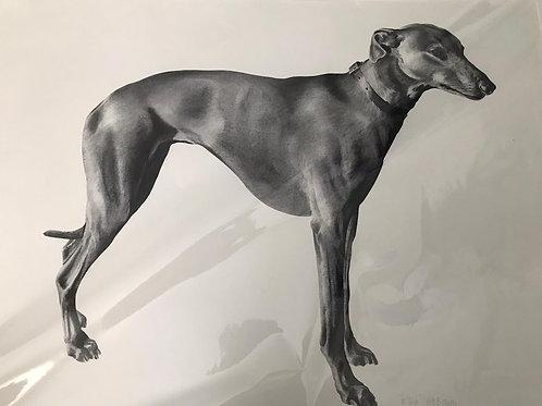 Greyhound by Humphrey Bangham, Charcoal on paper 61x82 cm