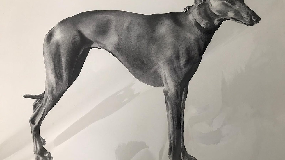 Greyhound by Humphrey Bangham, Charcoal on paper