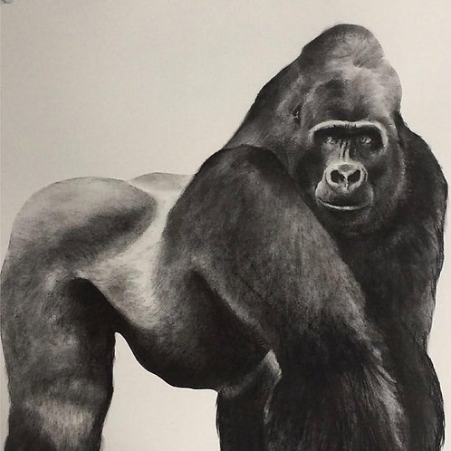 Gorilla by Humphrey Bangham, Charcoal on paper 94x63cm