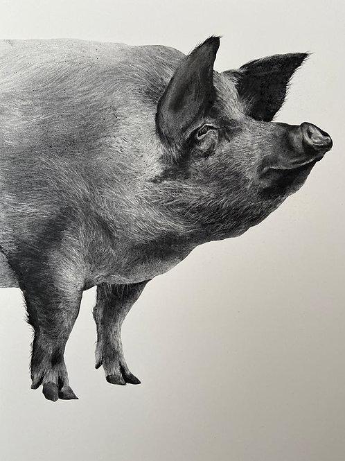 Pig by Humphrey Bangham, Charcoal on paper 70x50cm