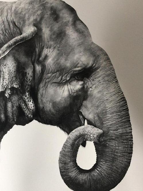 Indian Elephant by Humphrey Bangham, Charcoal on paper 94x63cm