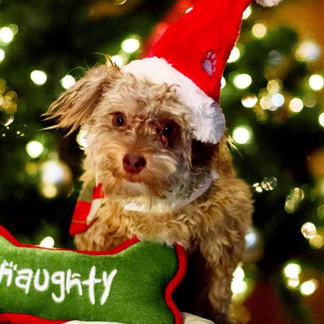 #pet #photoshoot #dog #photographer #holidays #cute www.photosbyd.jp
