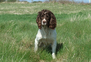 Witchwillow Gundogs | Stud Dogs | County Durham