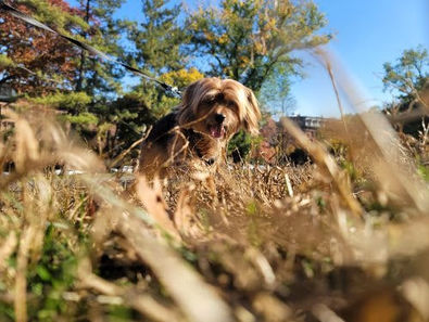 BarkSupport-Sparky-Brooklyn-Dog-Walking-