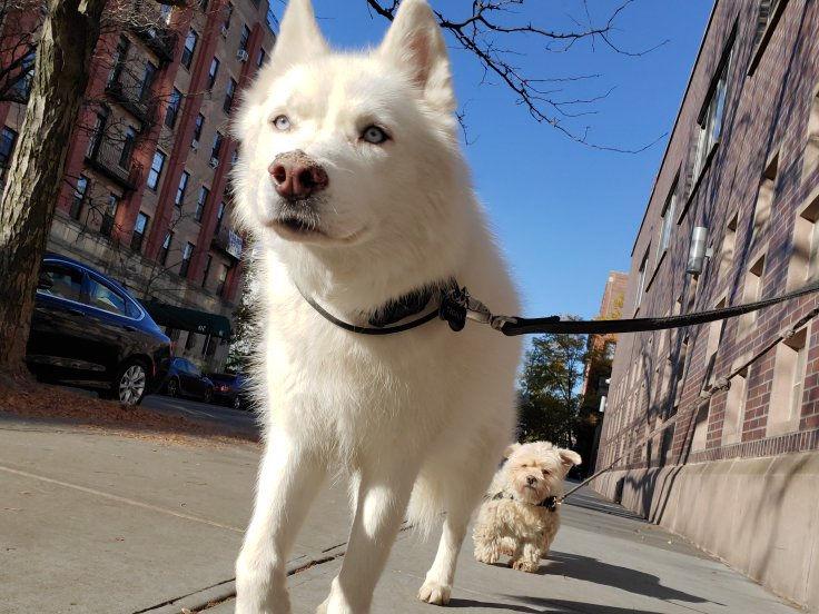 BarkSupport-GhostToby-Brooklyn-Dog-Walki