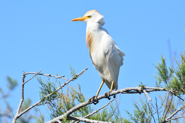 Garde-boeufs à plumage nuptial