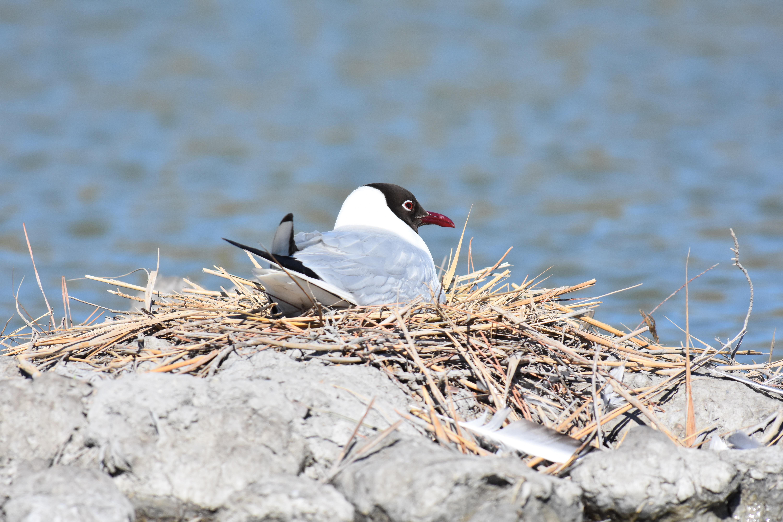 Mouette rieuse à plumage nuptial