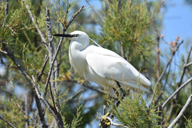 Aigrette en plumage nuptial