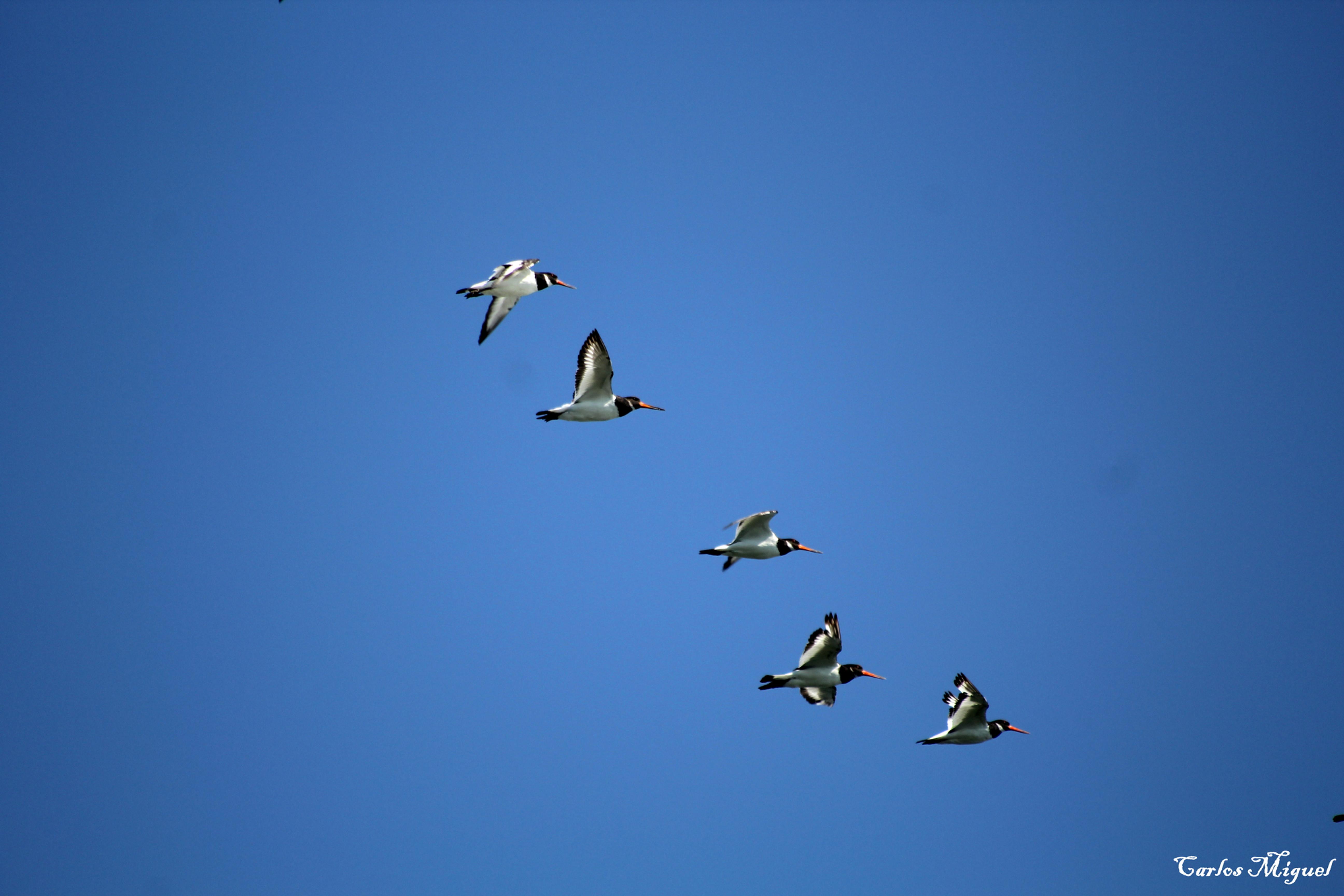 Aves do Sado / Sado Birds