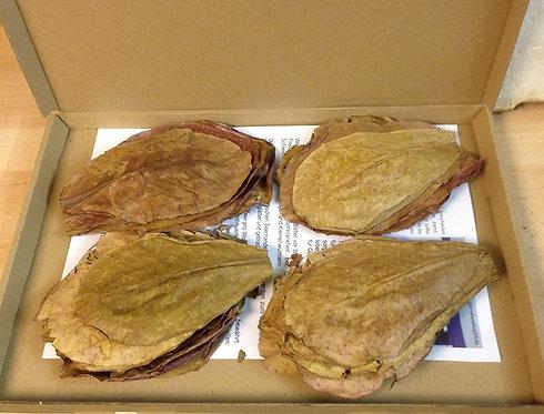 Indian Almond Leaves 10CM-10pk