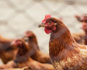 ยัม! แบรนด์ส เจ้าของ เคเอฟซี, พิซซ่า ฮัท และ ทาโก้ เบลล์ ประกาศนโยบายใช้ไข่ไก่ปลอดกรงขังทั่วโลก