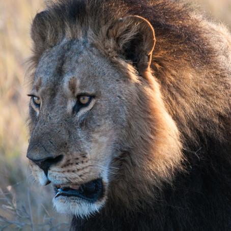 Pourquoi le lion est-il (vraiment) le roi de la jungle?