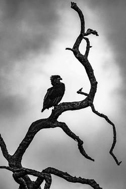 7H12 Whalberg Eagle