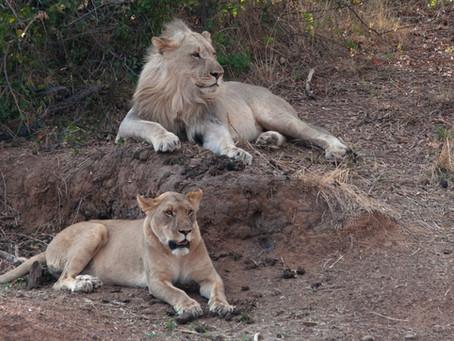Organiser soi-même son Safari à Pilanesberg.