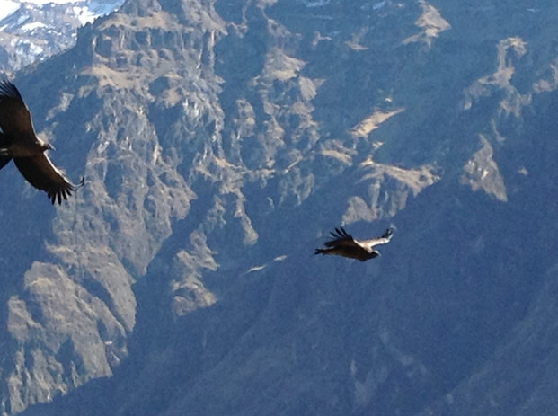 Condors, Arequipa.JPG