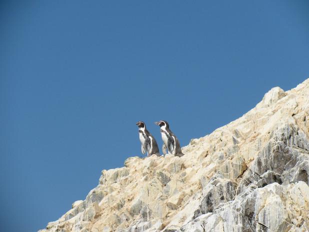 Pinguinos de Humbolt - Paracas.JPG
