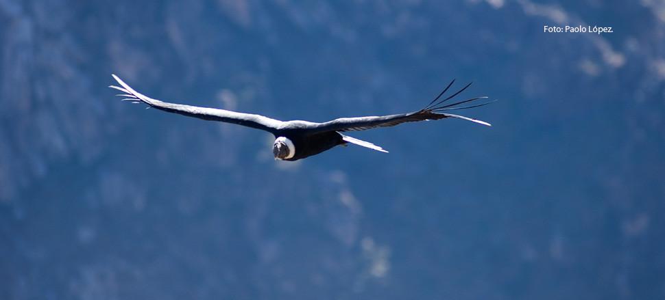 Condors at Colca Canyon.jpg