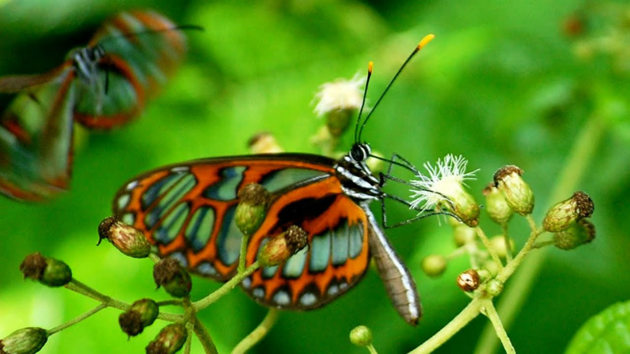 mariposa manu.jpg