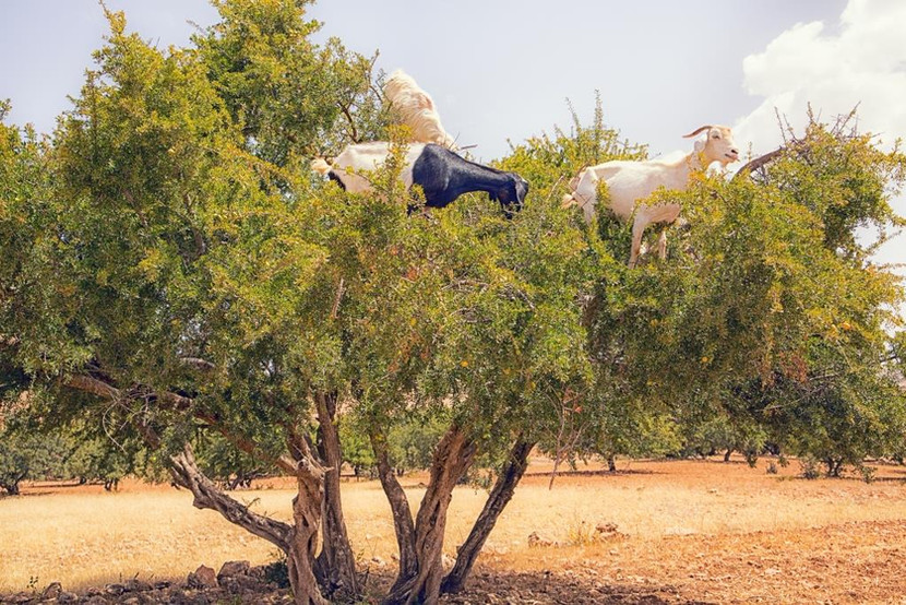 Goats in a tree