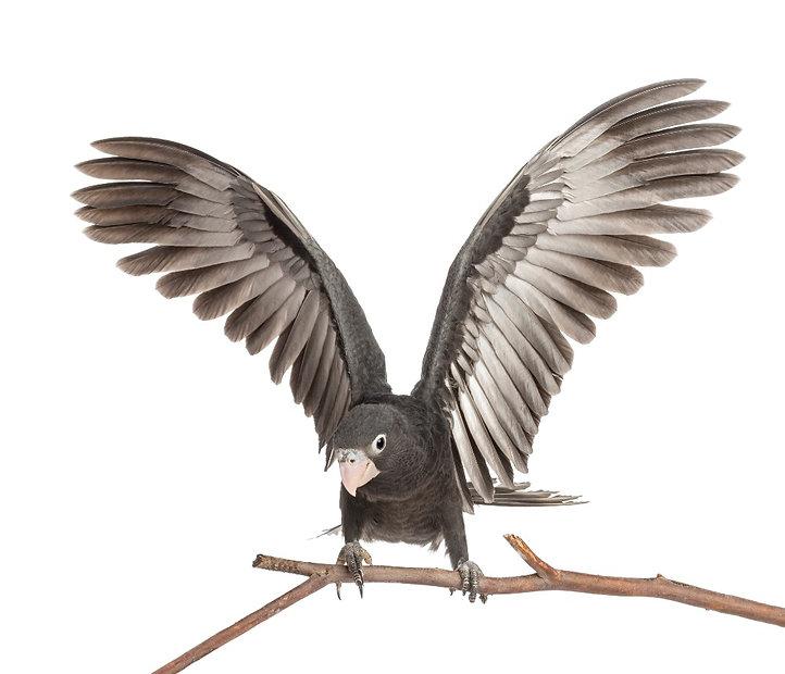 greater-vasa-parrot-coracopsis-vasa-7-we