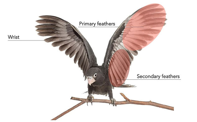 It's easy to think that the joint in the middle of the visible part of a bird wing is the elbow. In fact, this is the equivalent of our wrist! The flight feathers that are attached to the hand, which is the outer half of the wing, are called primary feathers. The flight feathers on the arm are called secondary feathers.