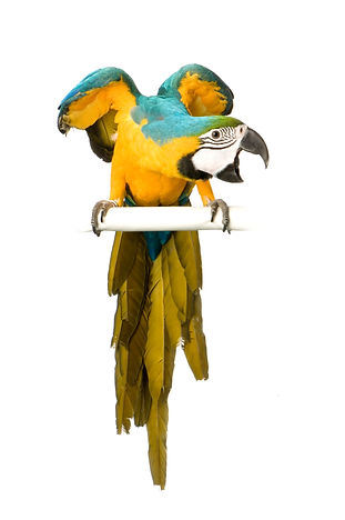 blue-and-yellow-macaw-ara-ararauna-PVDEU
