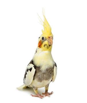 cockatiel-nymphicus-hollandicus-in-front