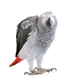 african-grey-parrot-P3DJ4AA.JPG