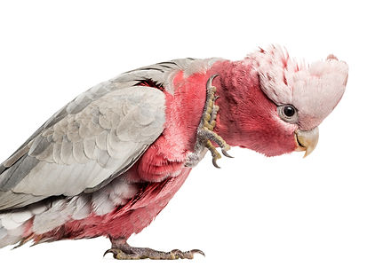 rose-breasted-cockatoo-2-years-old-isola
