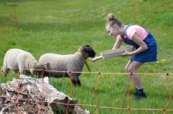 Schafe füttern