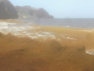 An explosion of Sargassum on Montserrat's Windward Beaches
